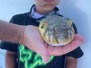 Miss Oregon Inlet Head Boat Fishing, Puffer Fish Thursday